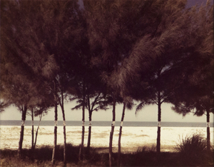 JOHN PFAHL - Australian Pines, Fort DeSoto, Florida (February 1977) - photograph - 8 x 10 in.