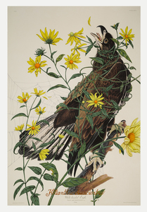 PENELOPE GOTTLIEB - Helianthus divaricatus (IAS) - acrylic and ink over John James Audubon print - 38 x 25 1/2